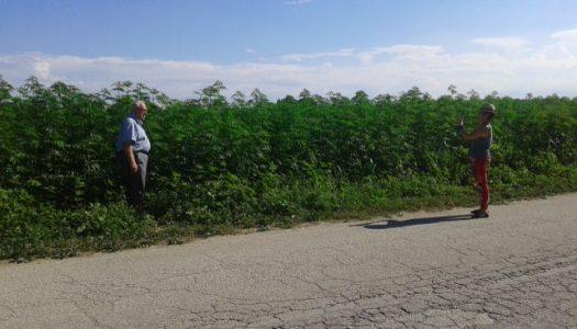 Treinta años de Alcalde y veinte cultivando cannabis